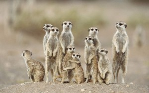 Les suricates de West dance story ( Biozat )